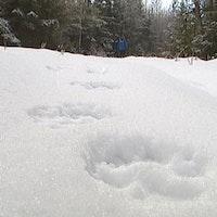 Naturbevakaren Ingemar Lindquist visar hur ett typiskt vargspår ser ut.