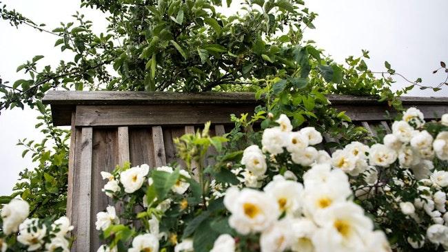 Plank, staket, blommor
