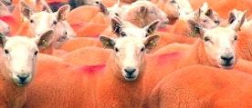 En fårfarmare i England har färgat sina får i en orange färg - för att undvika att de blir stulna.