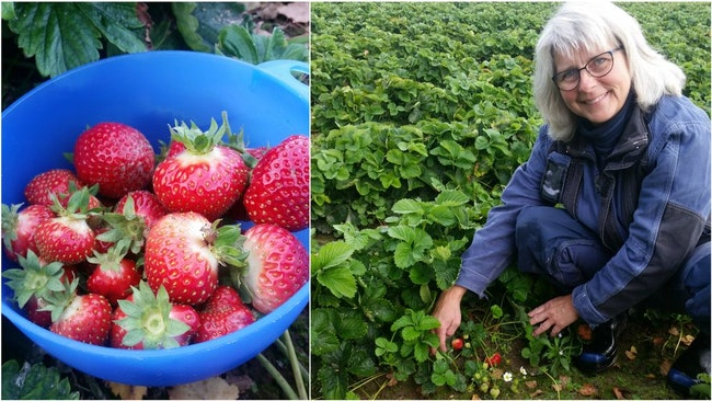 Bildmontage: Skål med jordgubbar, och odlaren Anna Wilén.