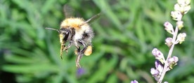 En bild på en humla som flyger vid en blomma.