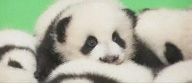 Babylycka vid kinesiskt center för jättepandor