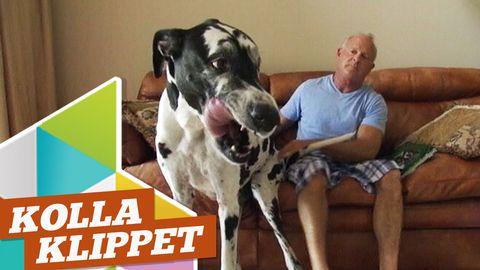 Rekordstor hund