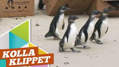 Kolla pingvinerna!