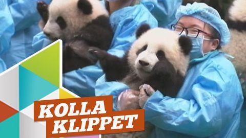 Krångligt gruppfoto på pandaungarna!