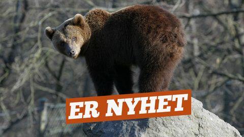 ernyhet - björn