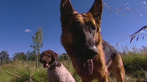 Hundar som spårar sjukdomar