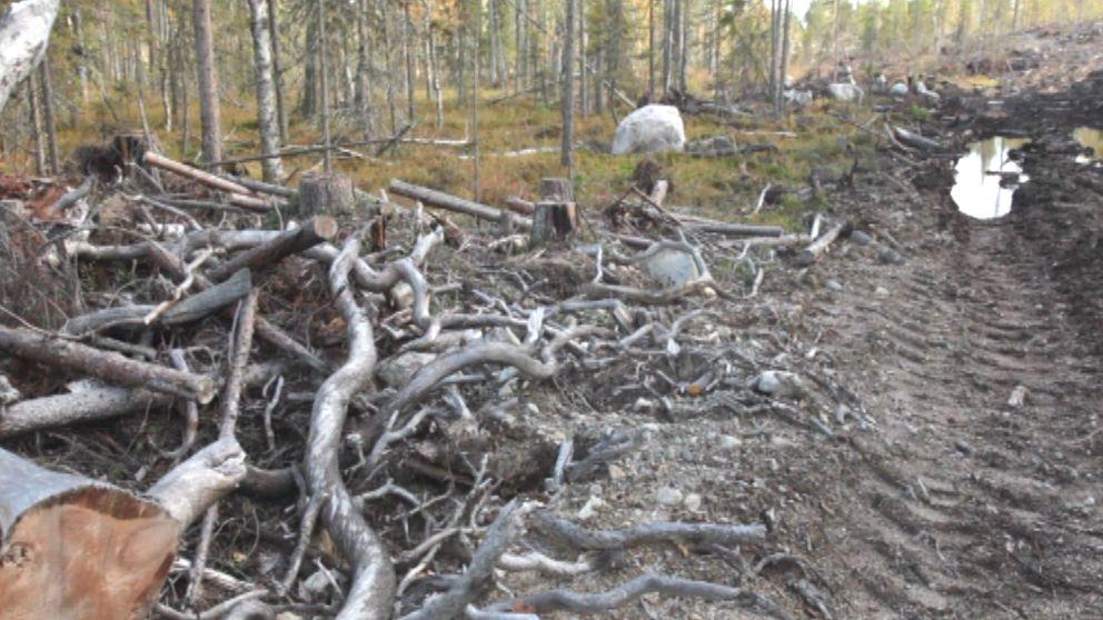 Avverkningen av urskogen i Karelen får miljögrupper att reagera starkt.