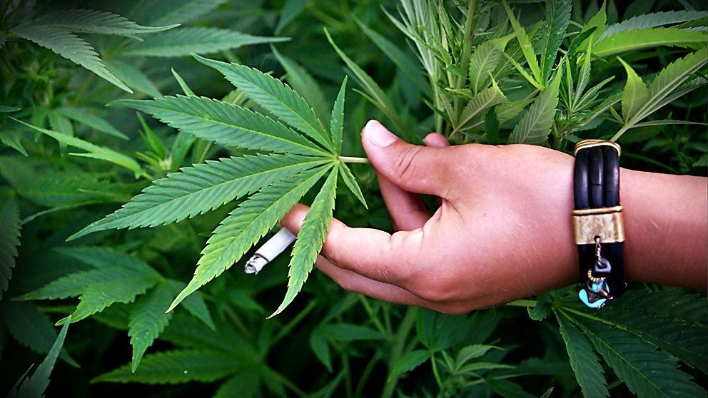 En ung människas hjärna är mer benägen att ta skada av cannabis än en vuxens.