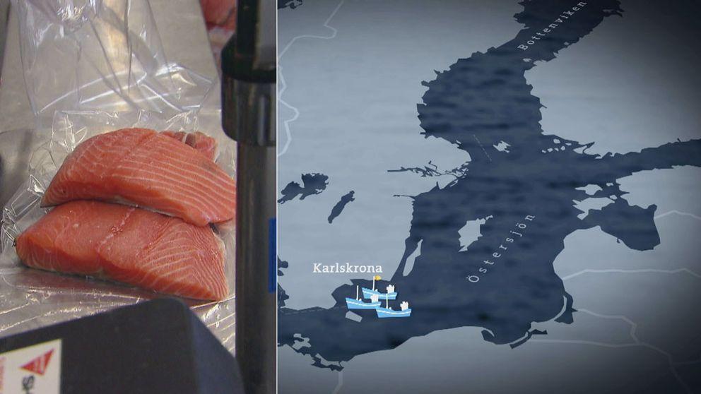 Trots förbud – giftig lax exporteras till bland annat Frankrike.
