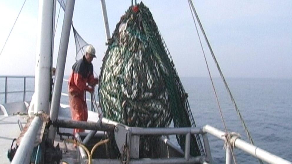 Torskfiskestopp i kattegatt
