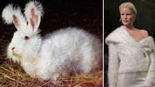 Kaniner plågas för att bli lurviga tröjor.