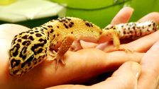 Leopardgeckon Isolde