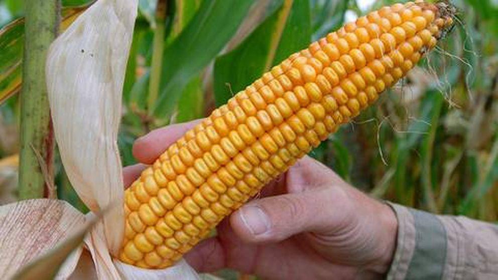hur nyttigt är majs