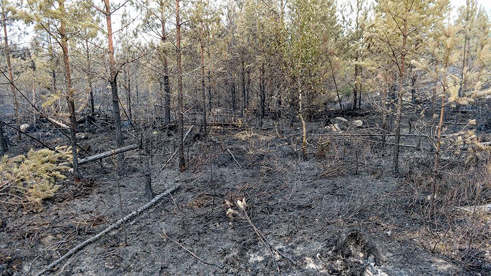 Sallsynta arterna far ny chans efter branden
