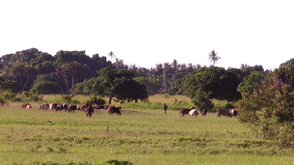 Här där boskap i dag betar i Bagamoyo-området i Tanzania vill företaget EcoEnergy odla sockerrör.