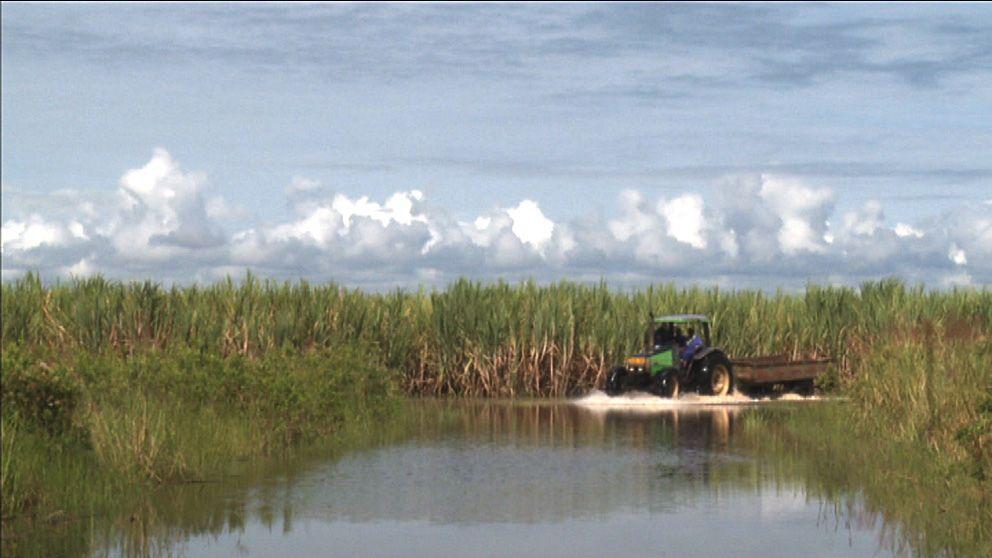 Sockerrörsodling i Tanzania.