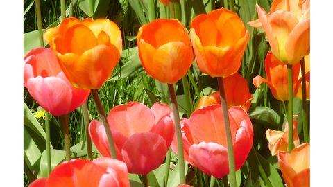 Närbild på rosa och orange tulpaner.