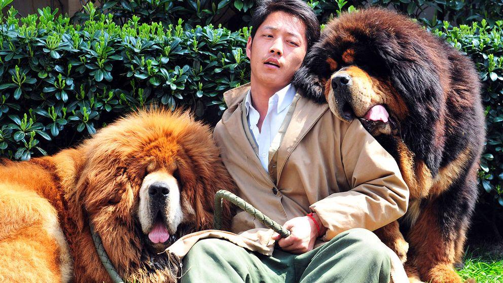 Uppfödare gosar med sina tibetanska mastiffer 2014, strax innan de ska säljas till en fastighetsmagnat för 30 miljoner kronor. Den guldiga är extra ovanlig och kostade då 20 miljoner kronor.