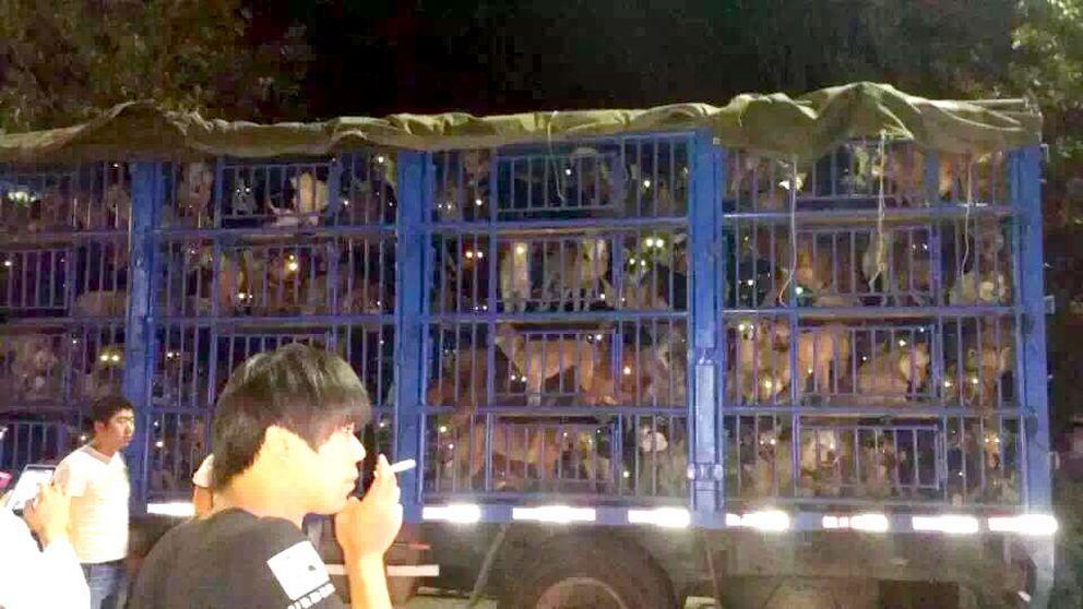 En illegal hundtransport som stoppats v djurrättsaktivister nära Tangshan, ett par timmar från Peking. På lastbilen fanns uppemot 400 hundar, varav minst 10 tibetanska mastiffer. 20-30 hundar var döda. Ett 30 hundsmugglare upp dök upp vid den stoppade lastbilen och situationen blev hotfull med endast några få poliser på plats. Men det hela slutade lugnt och hundarna kommer nu att bli omhändertagna.