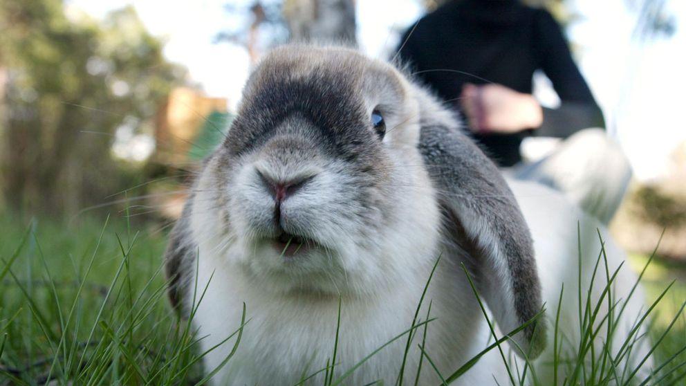 Radiopersonalen åt kaninen efter att ha avlivat den.