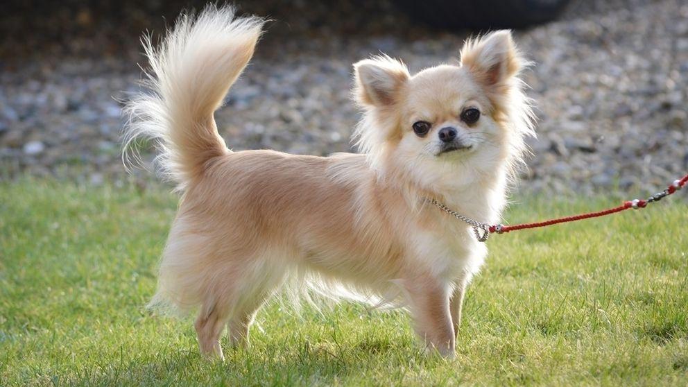 Liten gresk hund