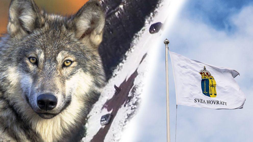 nyheter lokalt jamtland rovdjur och grovt jaktbrott
