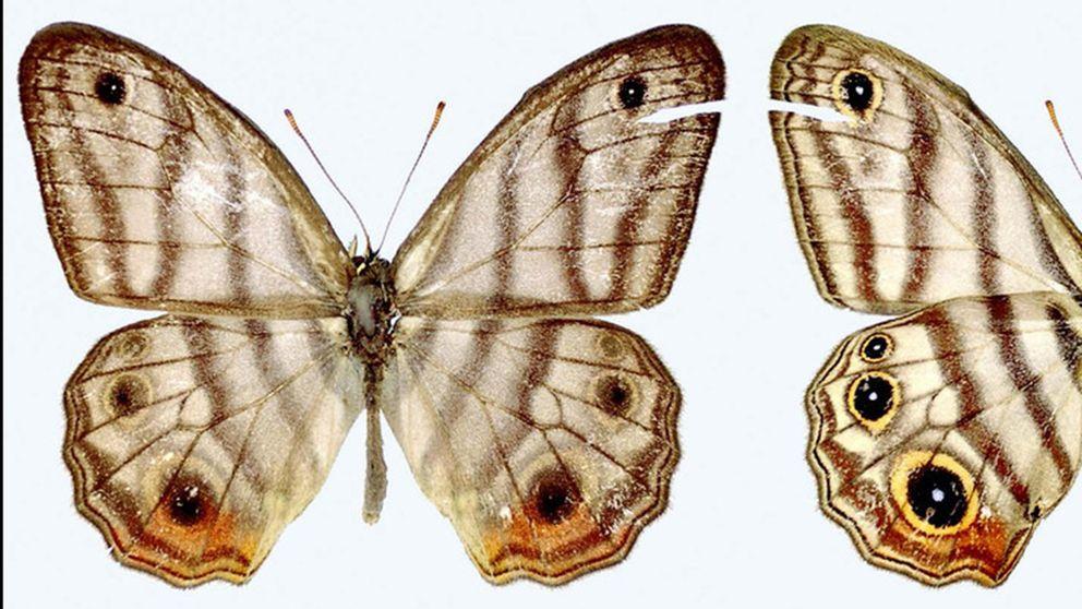 Fjärilen, Euptychia attenboroughi,