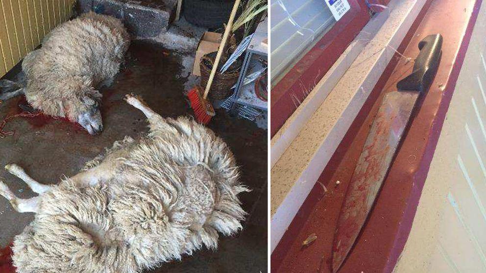 Polisen blev tipsad om att det pågick fårslakt i ett skjul vid pizzerian. Patrullen fann det här när de kom fram.
