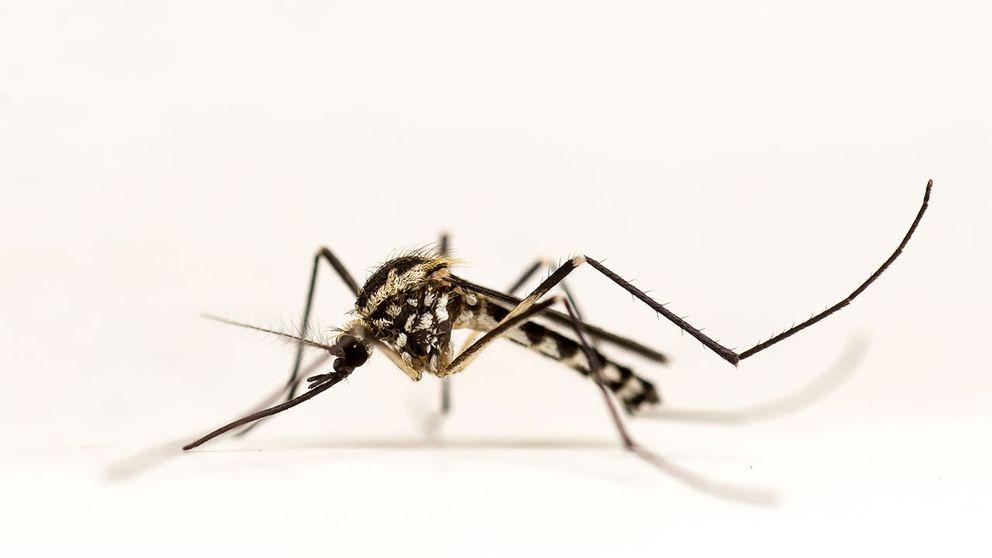 Den svenska silvertecknade trädhålsmyggan, gör att myggexperterna ändå inte vågar utesluta att zika kan komma att spridas i Sverige.