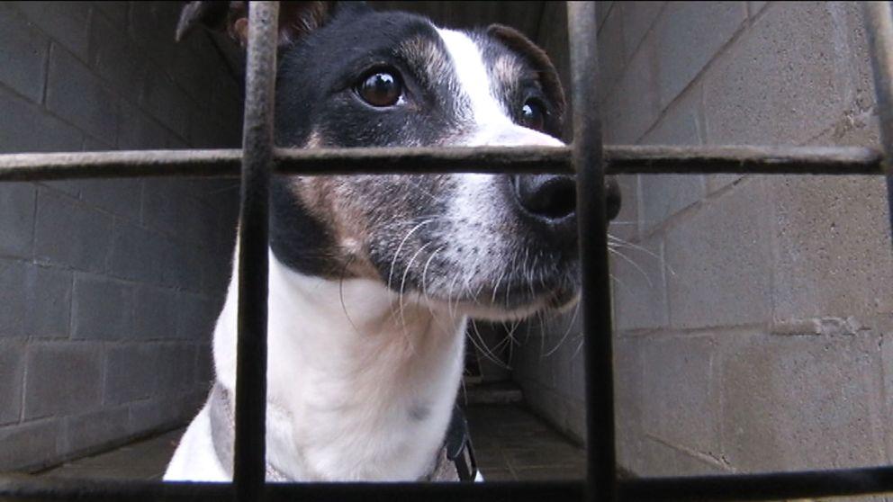 En hund som utsatts för djurtrafficking får återhämta sig på djurhärbärge.