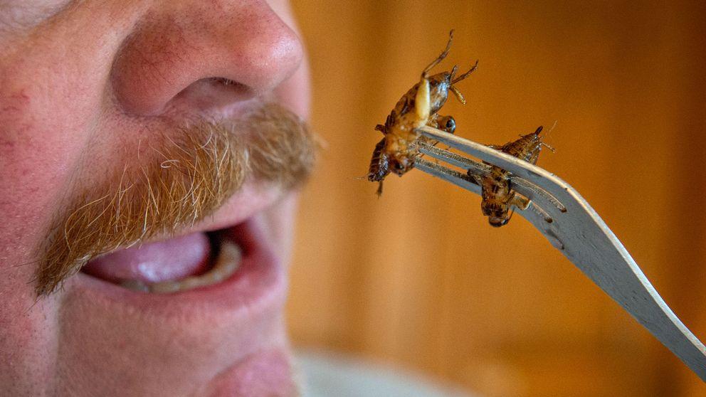 äta insekter