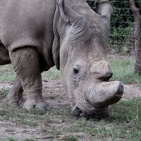 Elfenben och en noshörning.