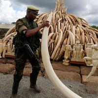 16.000 beslagtagna elefantbetar och ett ton noshörningshorn ska eldas upp.