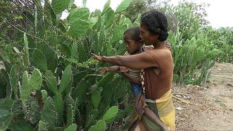 – Ingenting växer här, så vi måste äta kaktus. Men barnen är svaga och sjuka. Om det blir värre är jag rädd för att vi dör, säger Loharano.