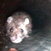 Råttorna gnager sönder vatten- och avloppsledningar som i sin tur kan orsaka vattenskador och de kan gnaga sönder elkablar och på så sätt orsaka bränder.