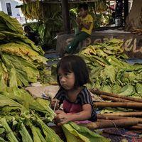 En liten flicka knyter upp tobaksblad på pinnar för att förbereda torkningsprocessen i östra Lombok, i Nusa Tenggara Barat.