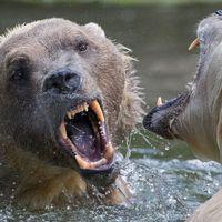 """En hybridbjörn mellan en grizzlybjörn och isbjörn på zoo i Tyskland. Nu har en sådan """"grolar bear"""" skjutits i Kanada."""