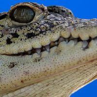 En kvinna befaras ha omkommit efter att ha tagits av en krokodil i norra Australien. Arkivbild.