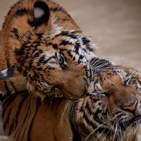 Lekande tigrar.