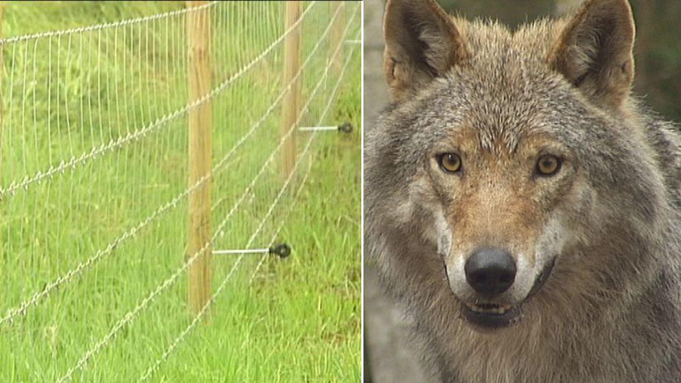 rovdjursavvisande stängsel på bild till vänster, och varg till höger.