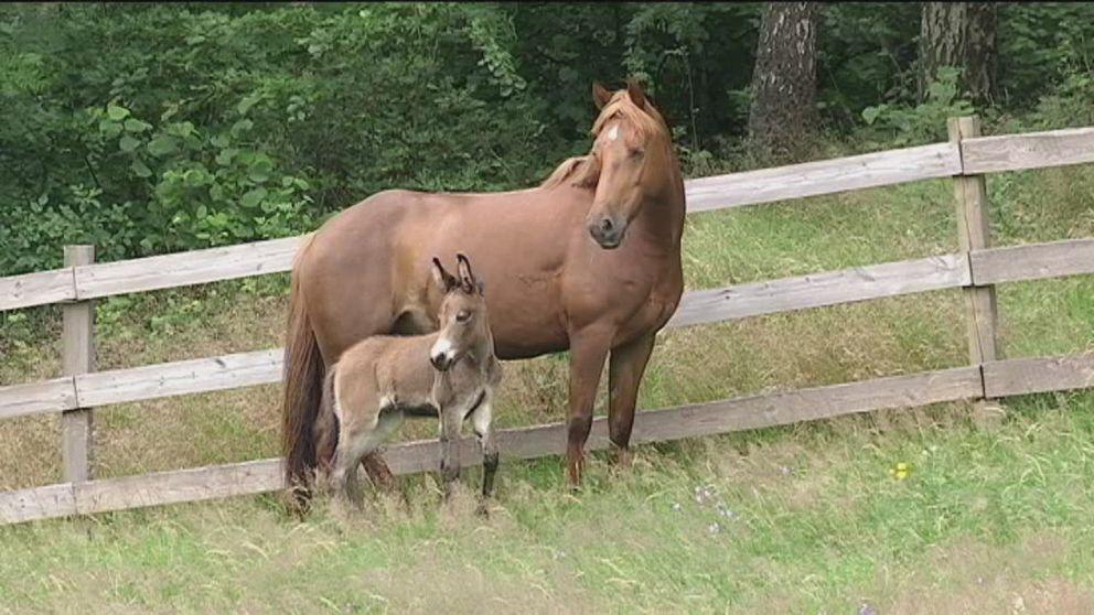 En häst och ett mulföl