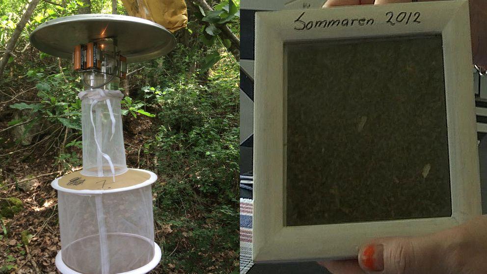 Myggfälla och en tavla med ihoppressade myggor från sommaren 2012.