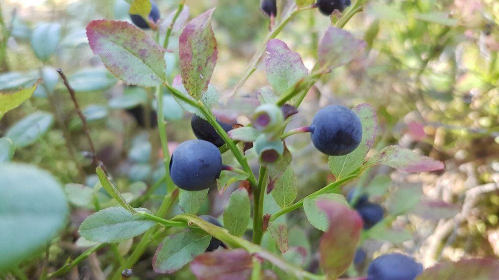 Mycket blåbär i de västmanländska skogarna.