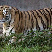 En kvinna dödades och en skadades efter att de blivit attackerade av en tiger i en djurpark i Peking i Kina. Arkivbild.