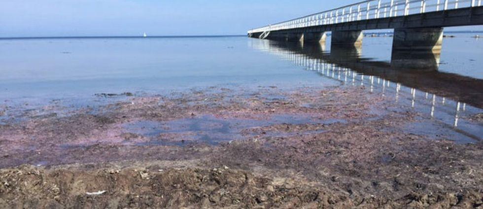 brun sörja, algblomning, ålgräs, havstång