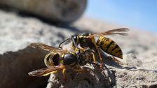 Anticimex är fullständigt nedringt av kunder som är hårt ansatta av getingar.