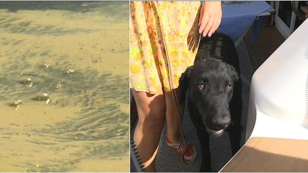 Hundar kan inte bada