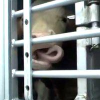 En ko i en transport