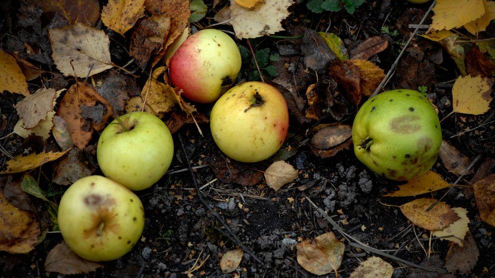 Äpplen, fallfrukt, höst, höstlöv